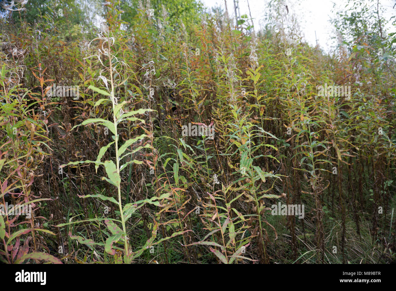 Blooming Willow herb Ivan tea fireweed Epilobium angustifolium background Stock Photo