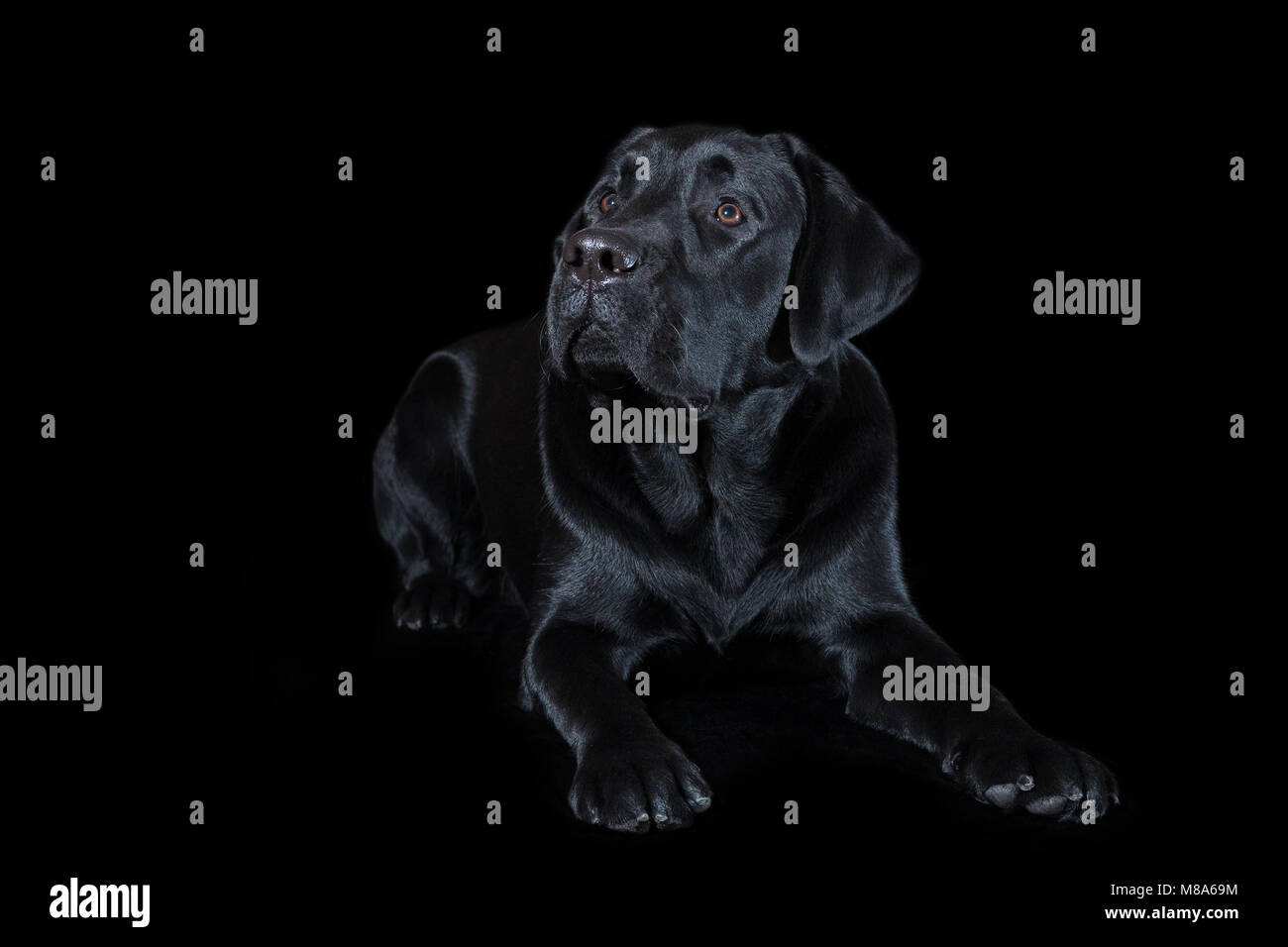 Beautiful young male dog labrador breed on black background - Stock Image