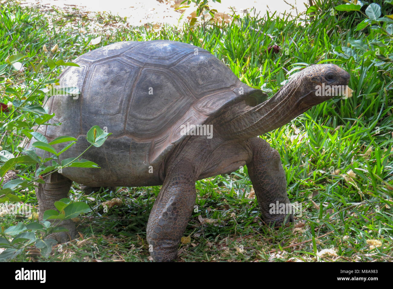 Ploughshare tortoise (Geochelone yniphora) on grass. Photographed in Madagascar. - Stock Image