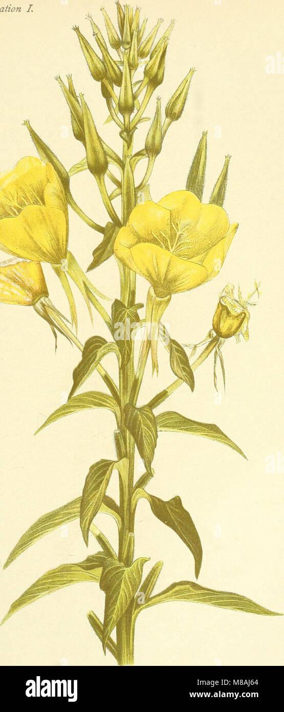 Die mutationstheorie. Versuche und beobachtungen über die entstehung von arten im pflanzenreich (1901) (20933890445) - Stock Image