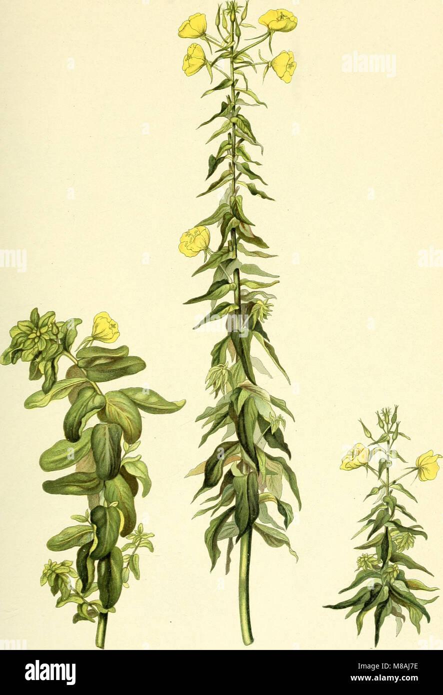 Die mutationstheorie. Versuche und beobachtungen über die entstehung von arten im pflanzenreich (1903) (20311835994) - Stock Image