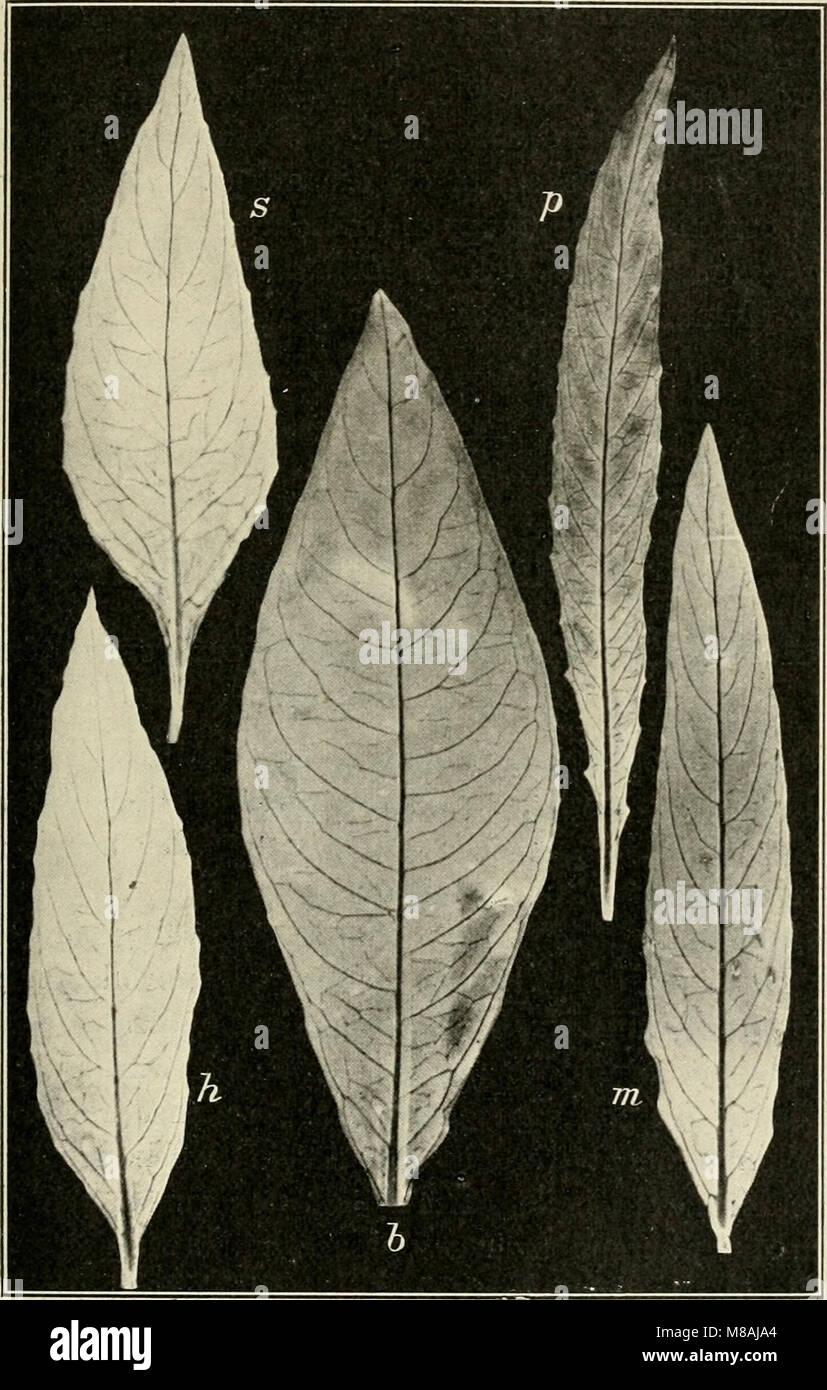 Die mutationstheorie. Versuche und beobachtungen über die entstehung von arten im pflanzenreich (1903) (20933889215) - Stock Image