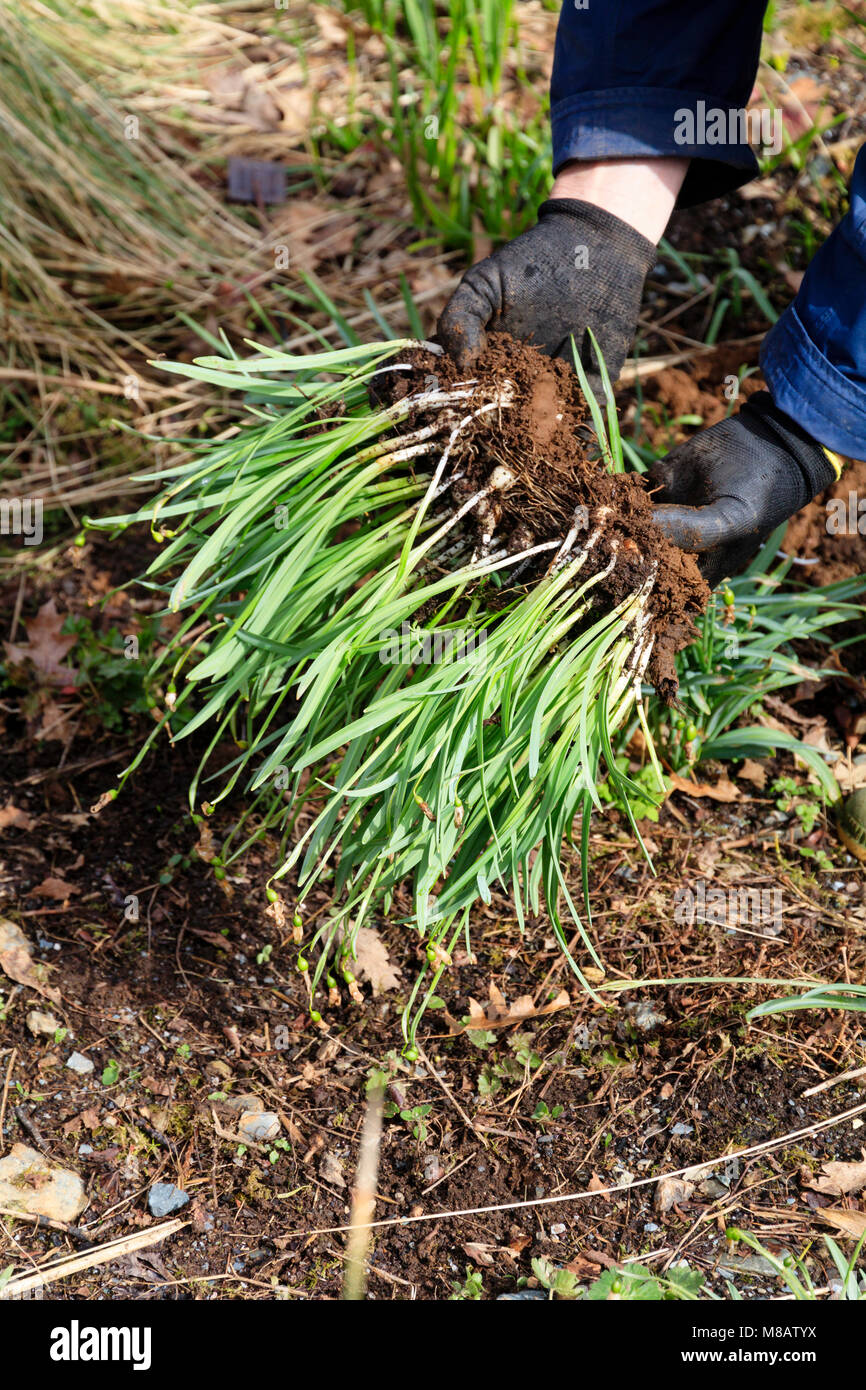 Snowdrop bulbs lifted 'in the green' after winter flowering for division and replanting - Stock Image