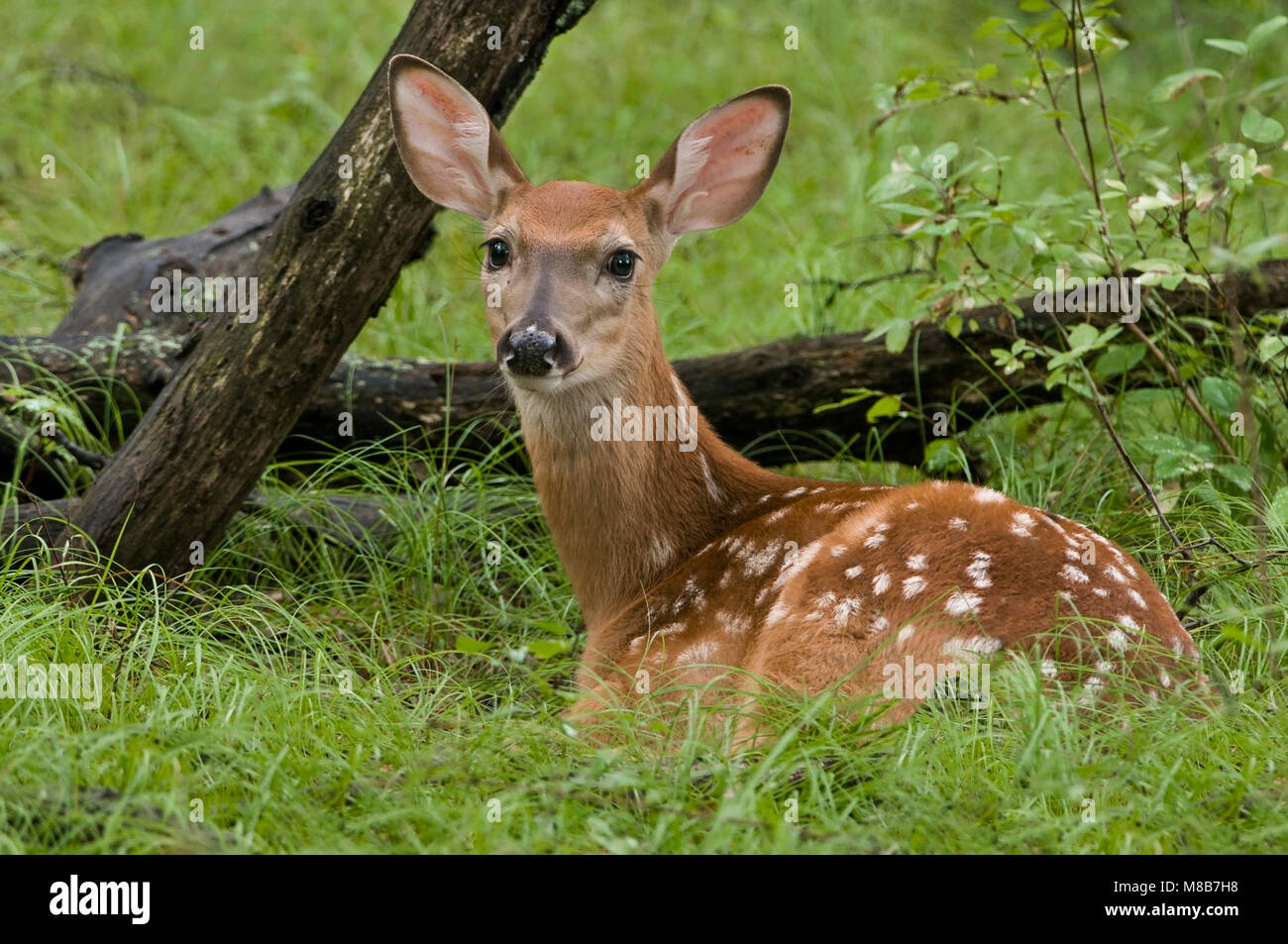 White-tailed Deer,(Odocoileus virginianus), Fawn, Spring, Eastern Deciduous forest, E USA, by Skip Moody/Dembinsky - Stock Image