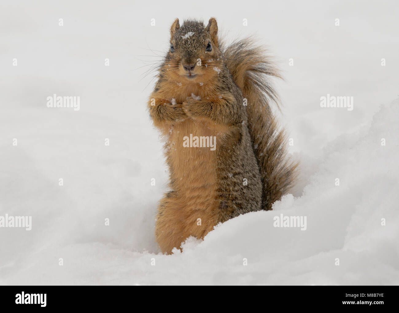 Fox Squirrel (Sciurus niger), Winter, E USA by Skip Moody/Dembinsky Photo Assoc Stock Photo