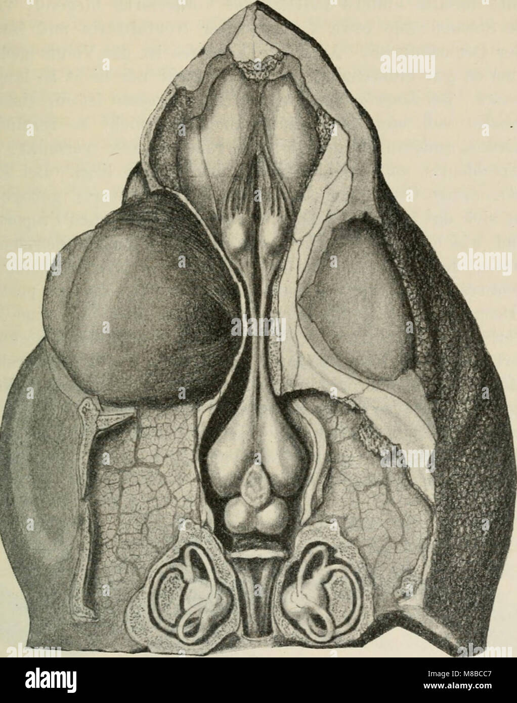 Das Gehirn von Hatteria punctata (1907) (20217381513 Stock Photo ...