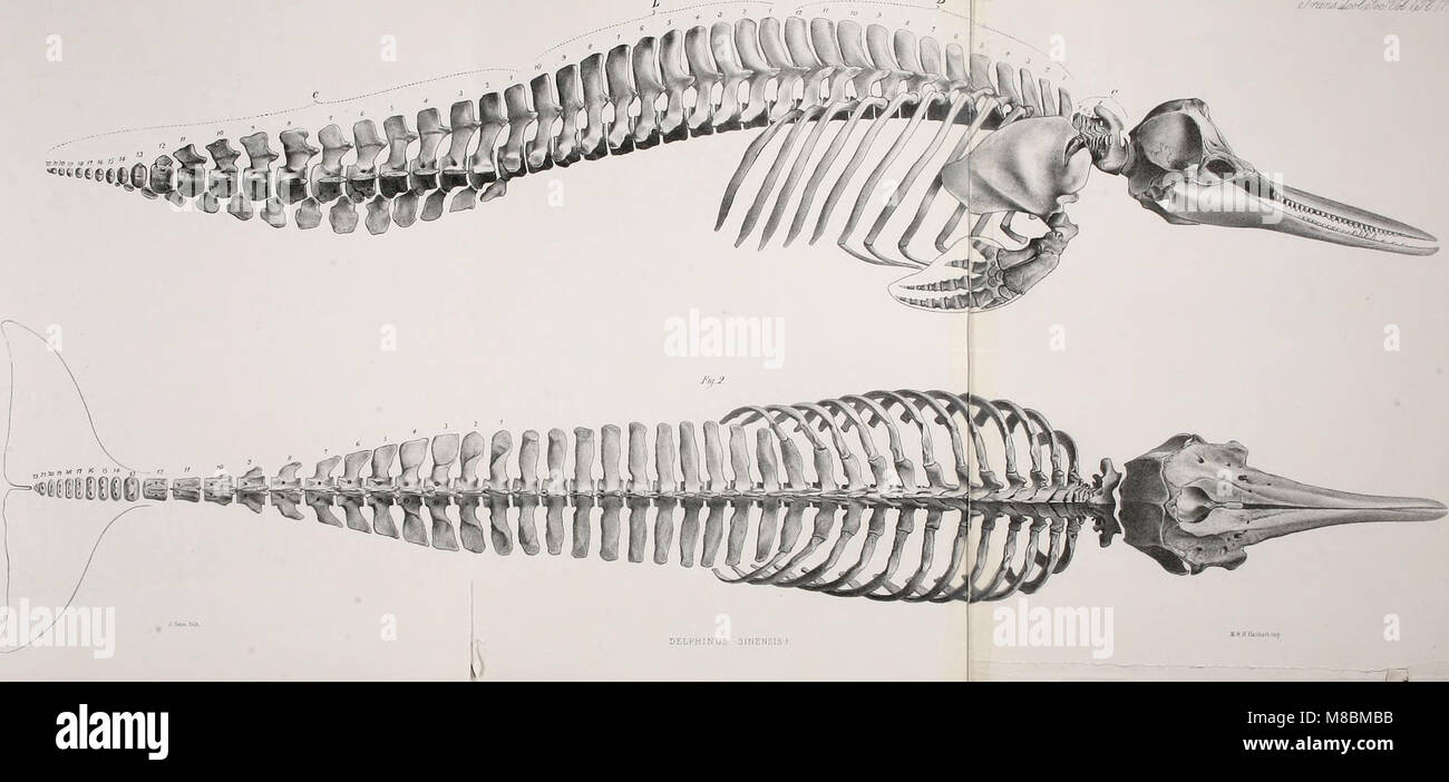 Description of the skeleton of the chinese white dolphin (Delphinus sinenesis, Osbeck) (1872) (20860484812) - Stock Image