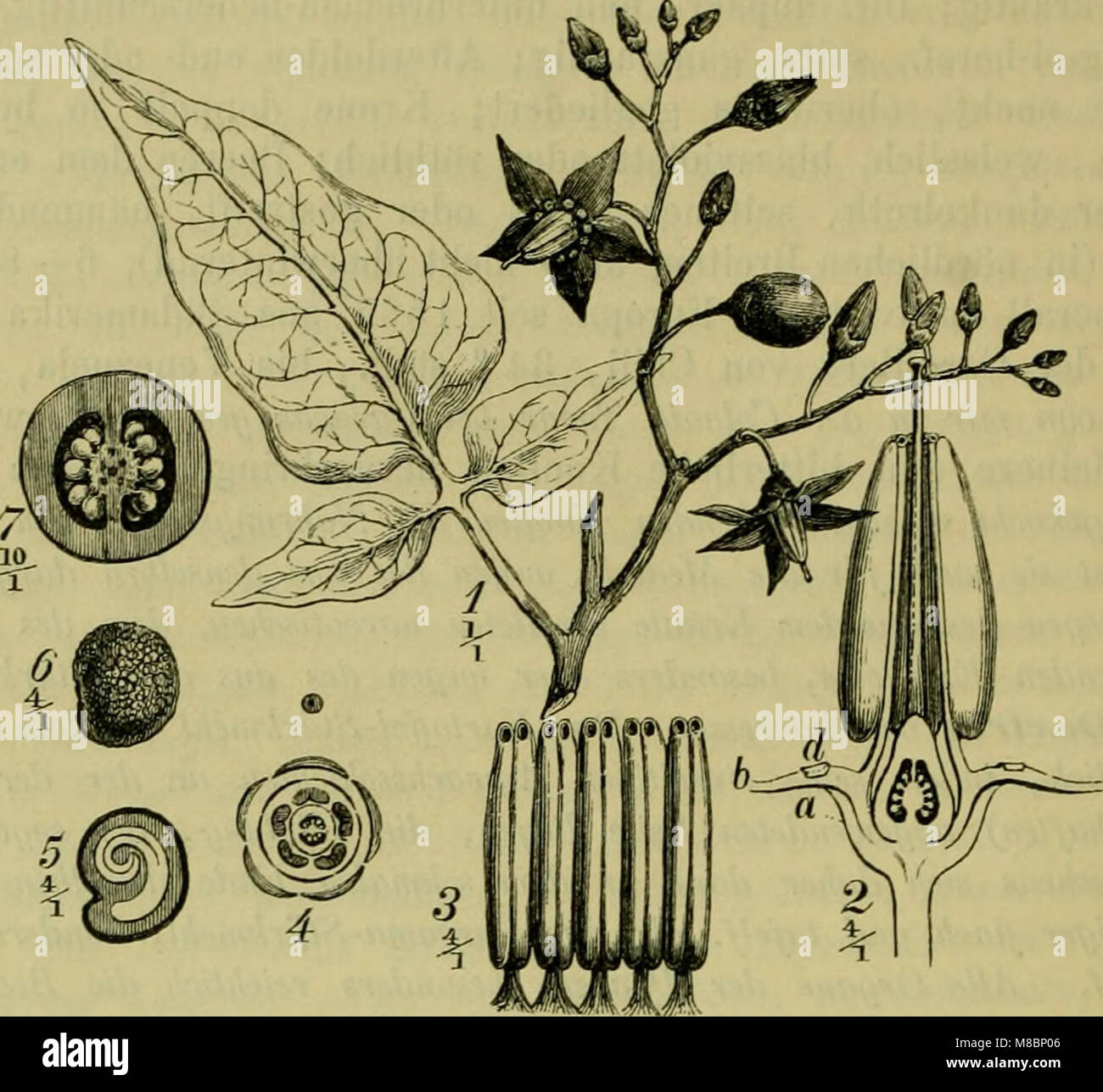 Deutsche Flora. Pharmaceutisch-medicinische Botanik. Ein Grundriss der systematischen Botanik zum Selbststudium Stock Photo
