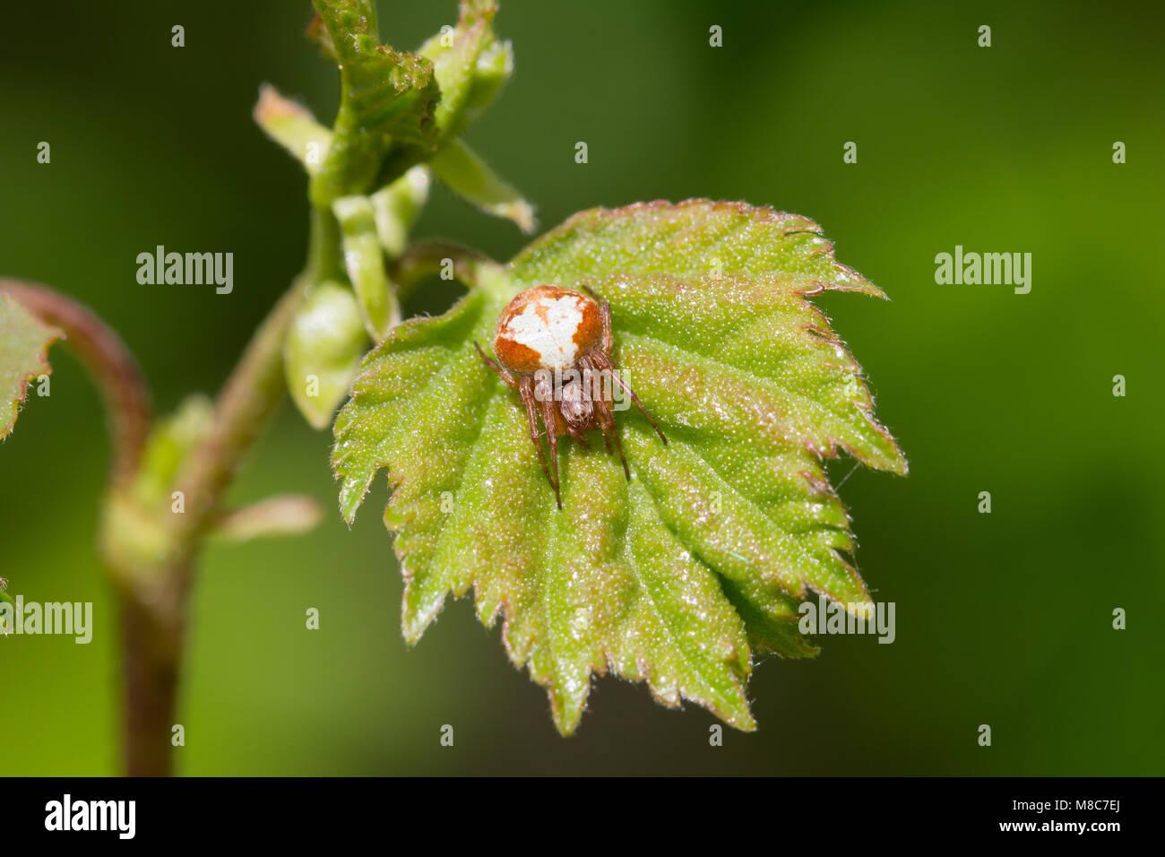 Evergreen orb-weaver - Stock Image