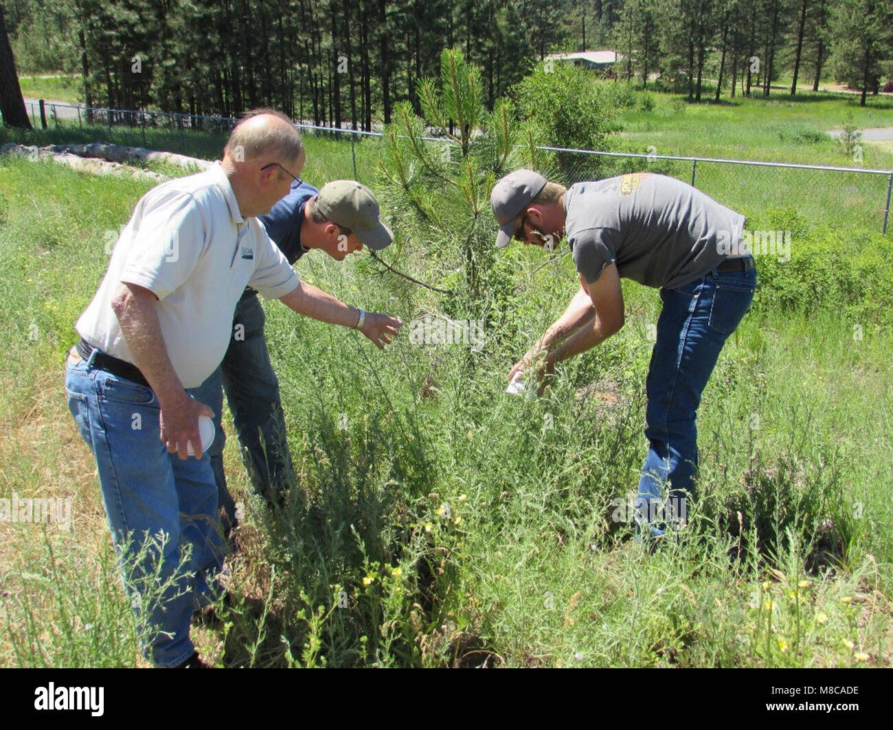 Larry Skillestad of USDA APHIS PPQ Spokane, Washington, oversees the release of lesser knapweed flower weevil (Larinus Stock Photo