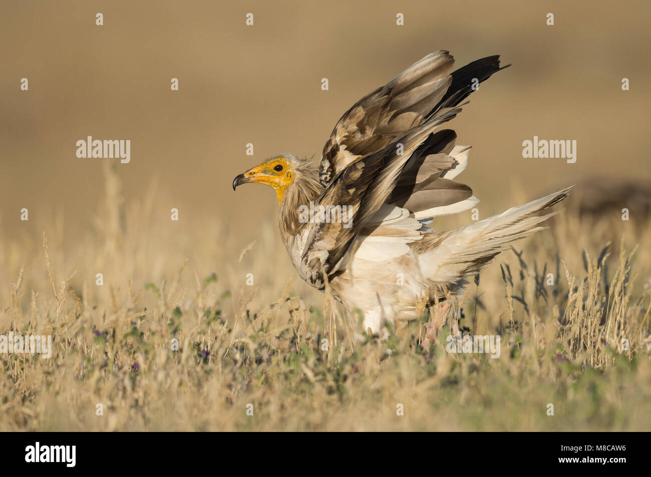 Endangered Egyptian Vulture (Neophron percnopterus) - Stock Image