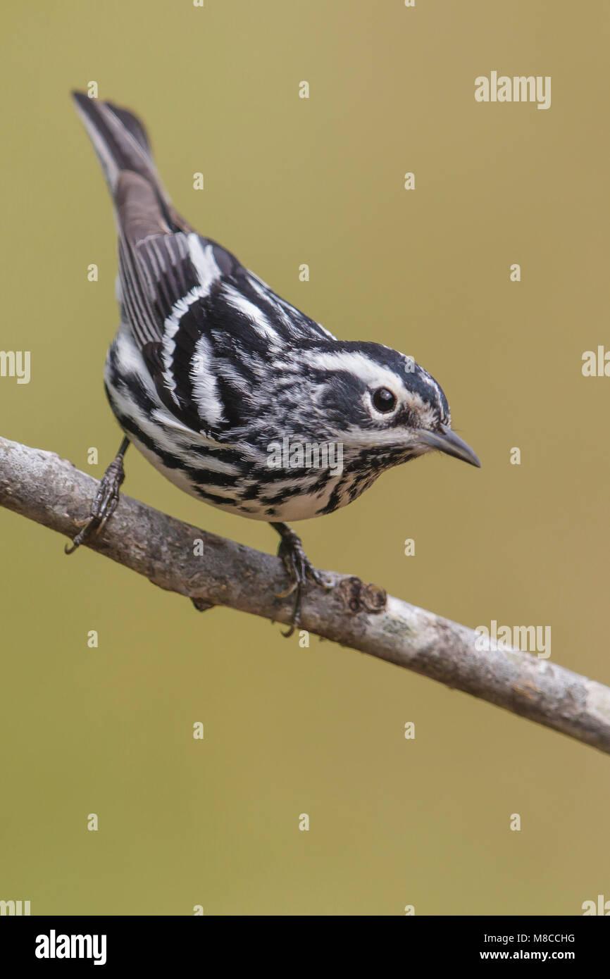 Bonte Zanger, Black-and-white Warbler, Mniotilta varia Stock Photo