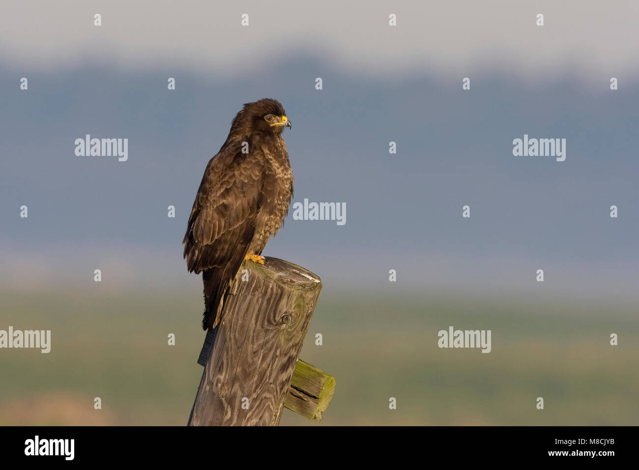 Buizerd op de uitkijk; Common Buzzard on a stake-out - Stock Image