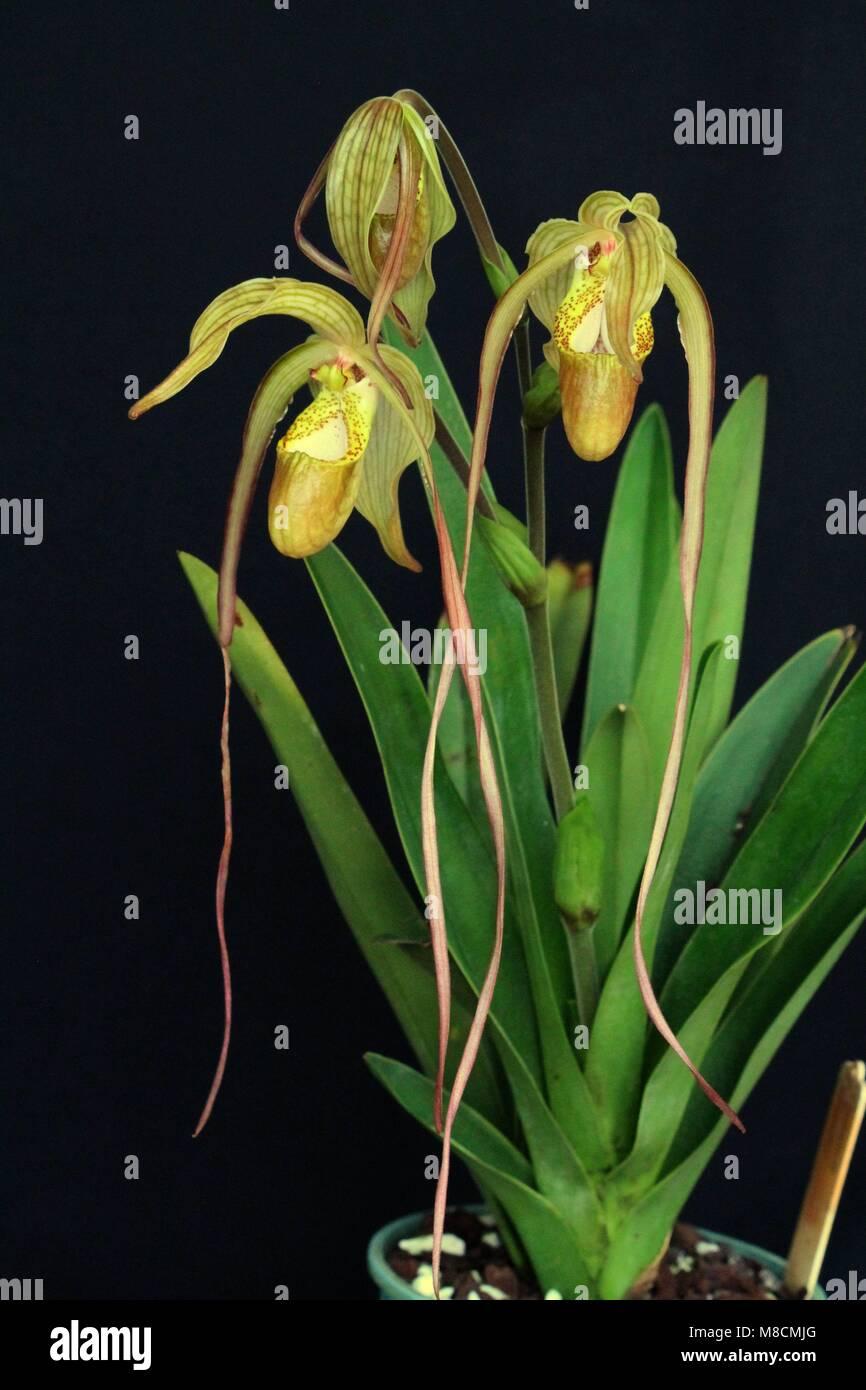 Phragmipedium Mauricianum - Stock Image