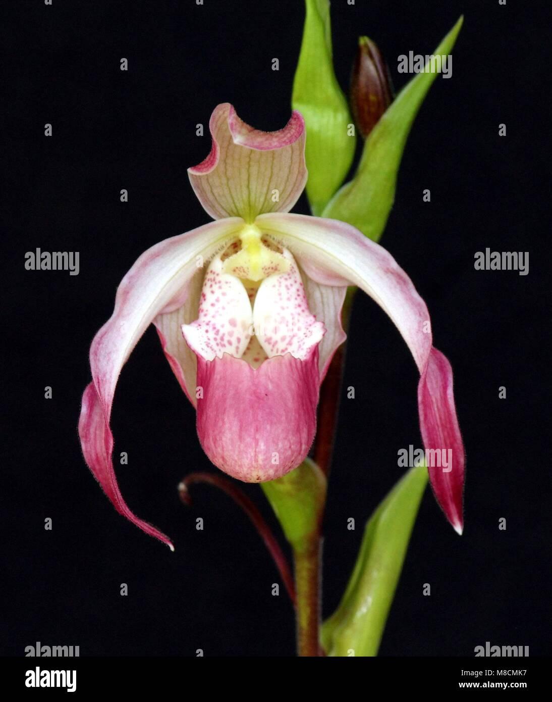 Phragmipedium Calorum - Stock Image