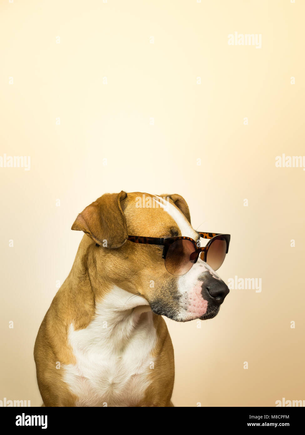 Funny staffordshire terrier dog in sunglasses. Studio photo of pitbull terrier puppy in summer shades posing in - Stock Image