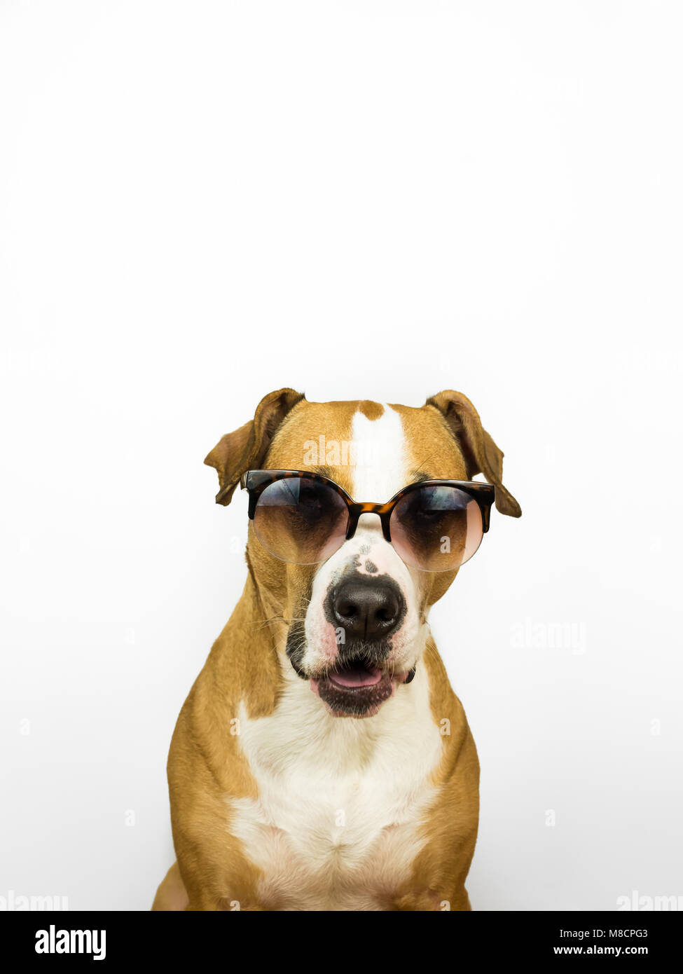 Funny staffordshire terrier dog in sunglasses. Studio photo of pitbull terrier puppy in summer eyeglasses posing - Stock Image