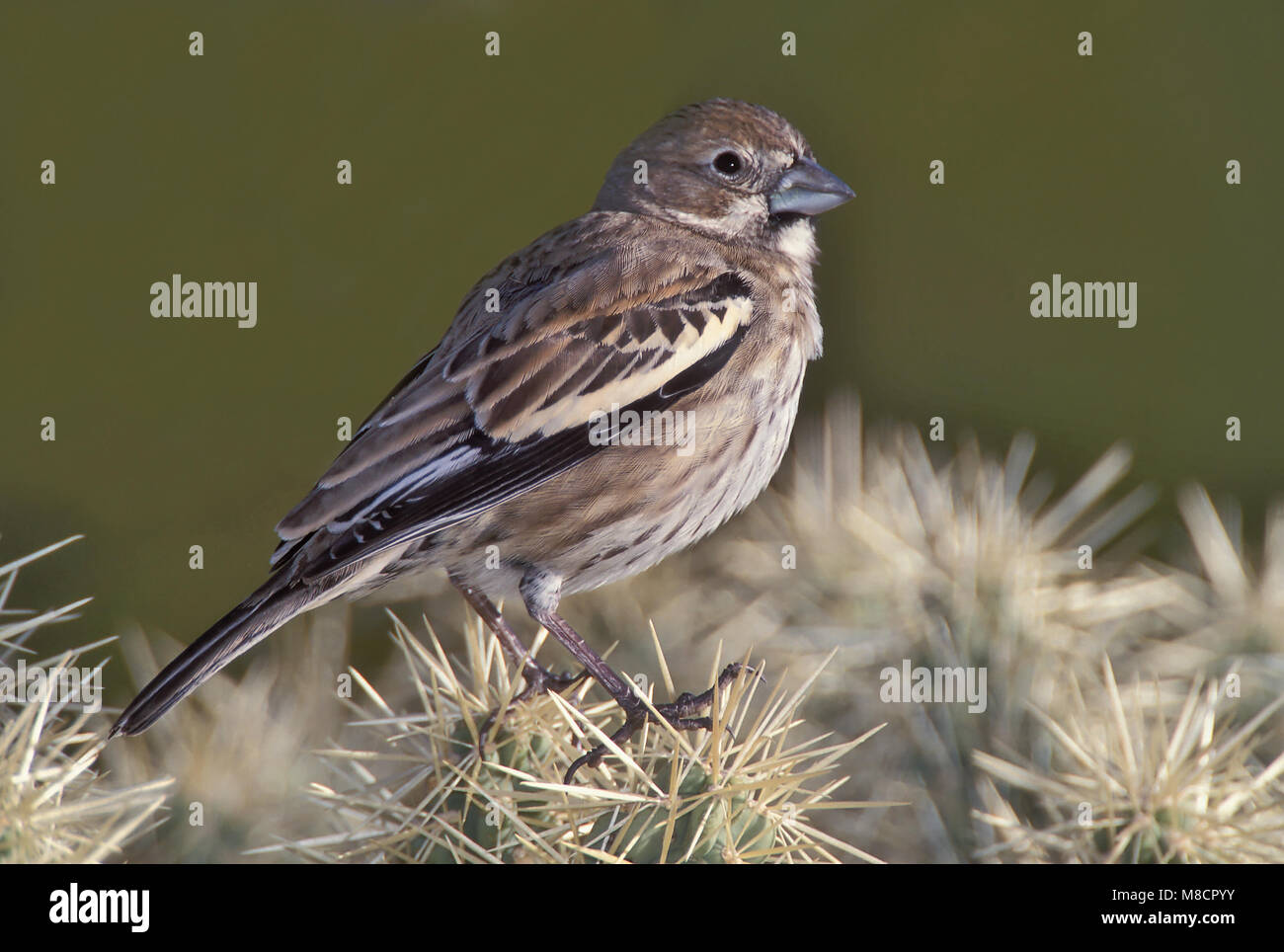 Adult male non-breeding Pima Co., AZ December 2002 - Stock Image