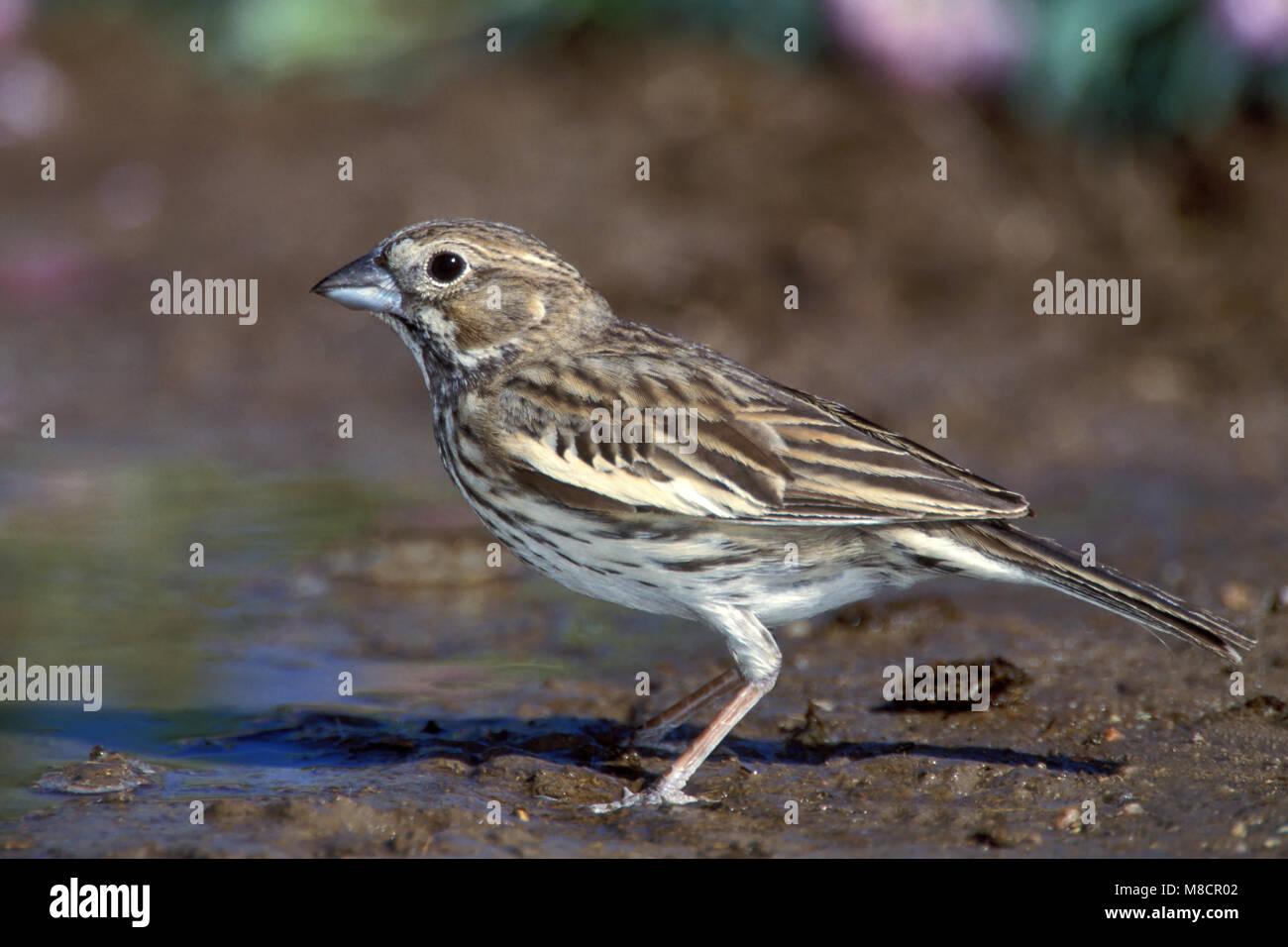 Adult female breeding Weld Co., CO June 2000 - Stock Image