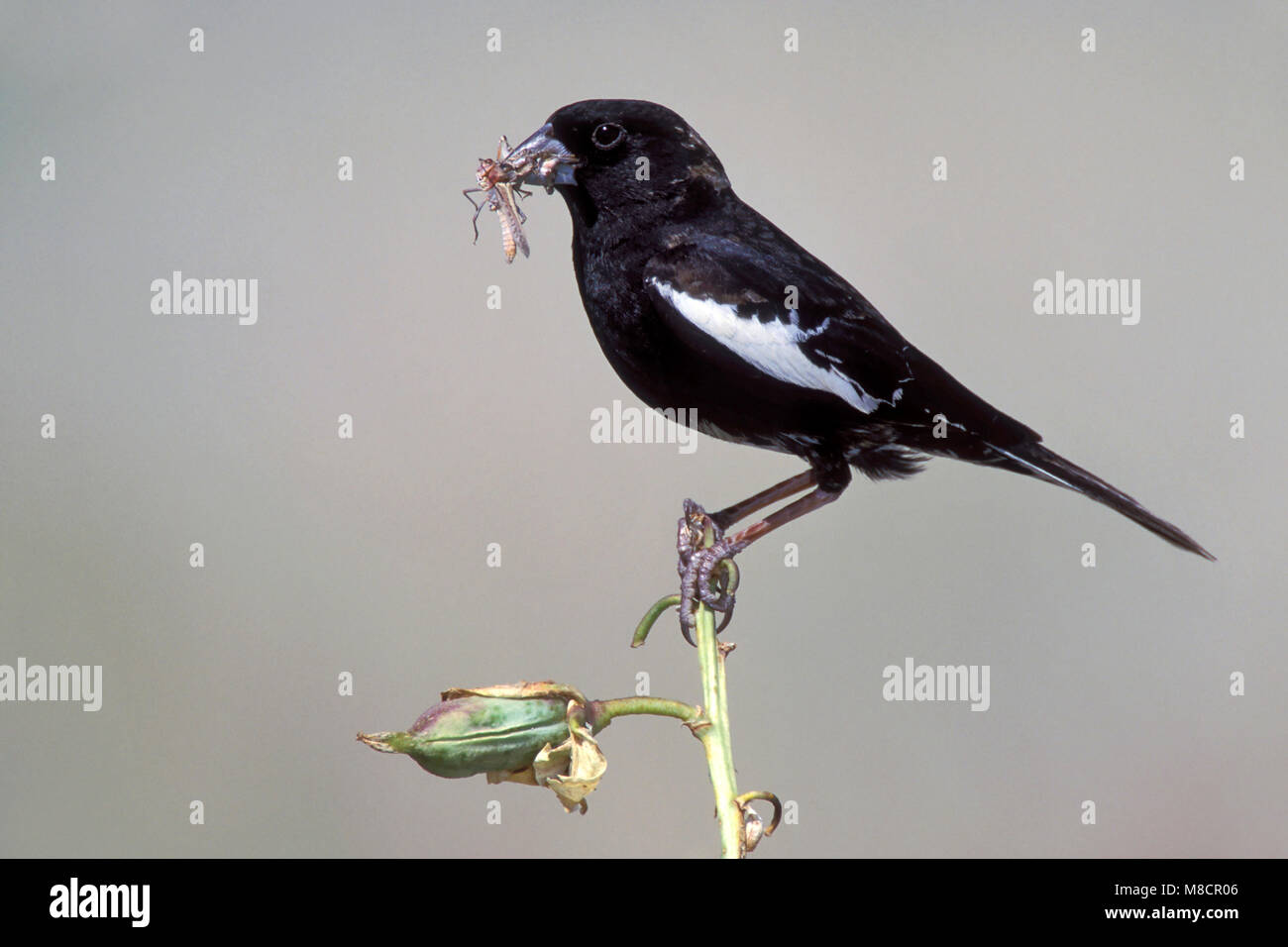 Adult male breeding Weld Co., CO June 2000 - Stock Image