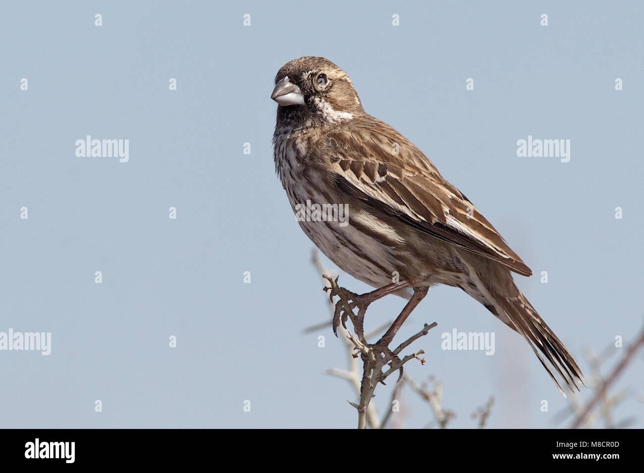 Adult male non-breeding Jeff Davis Co., TX March 2010 - Stock Image