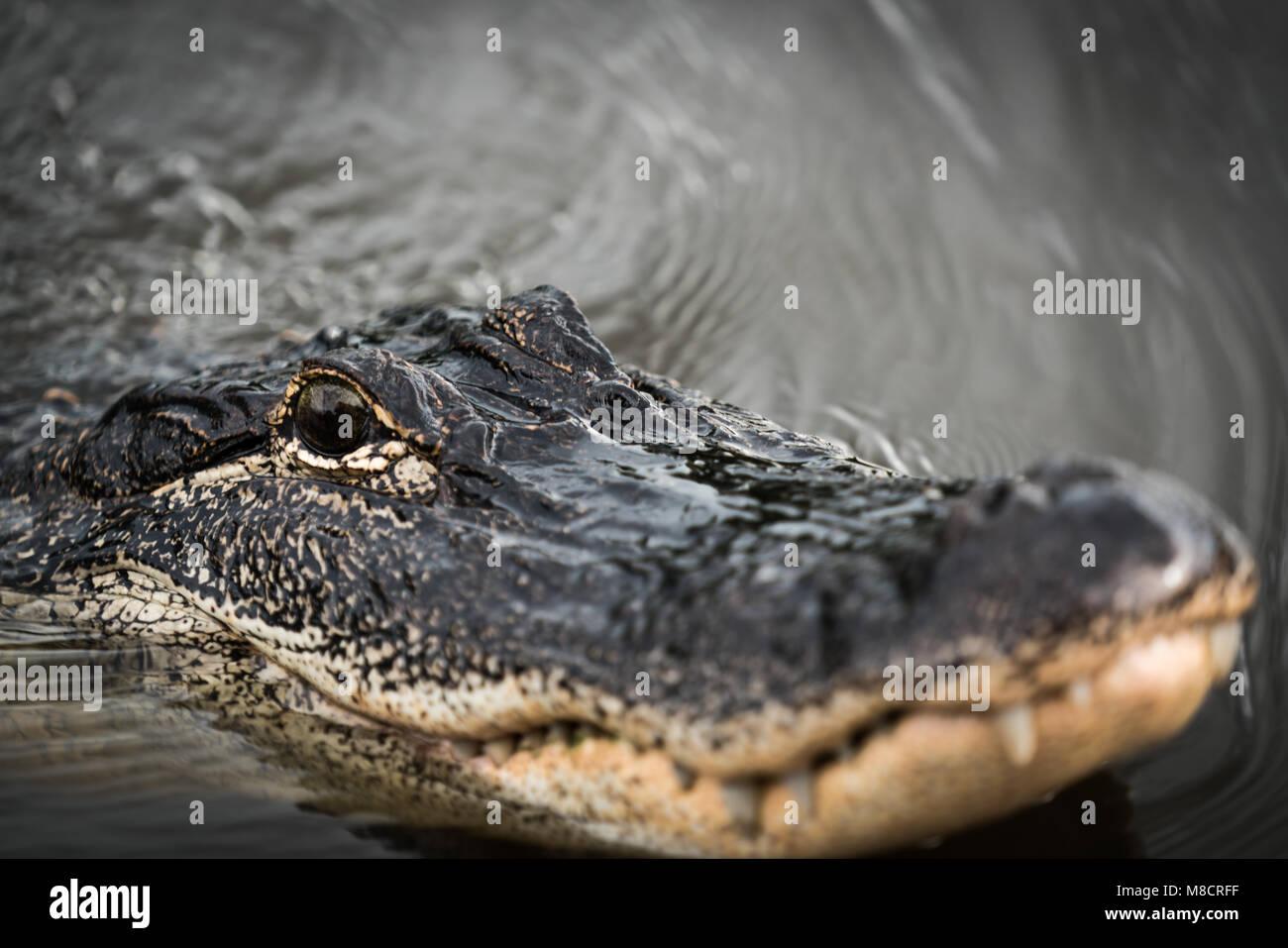 An alligator patrols his swamp in Louisiana - Stock Image
