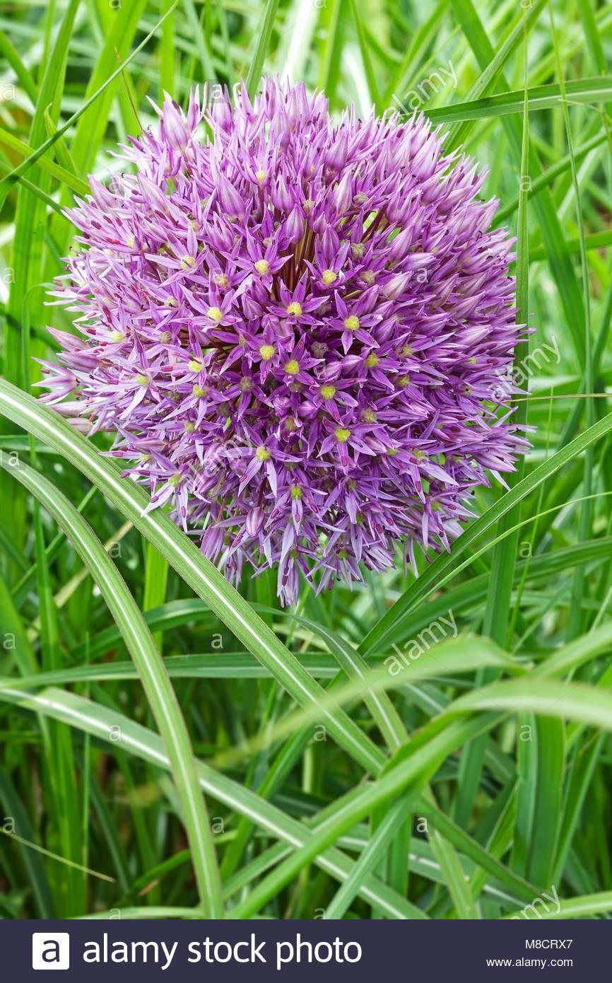 Allium 'Beau Regard' with Miscanthus sinensis - Stock Image