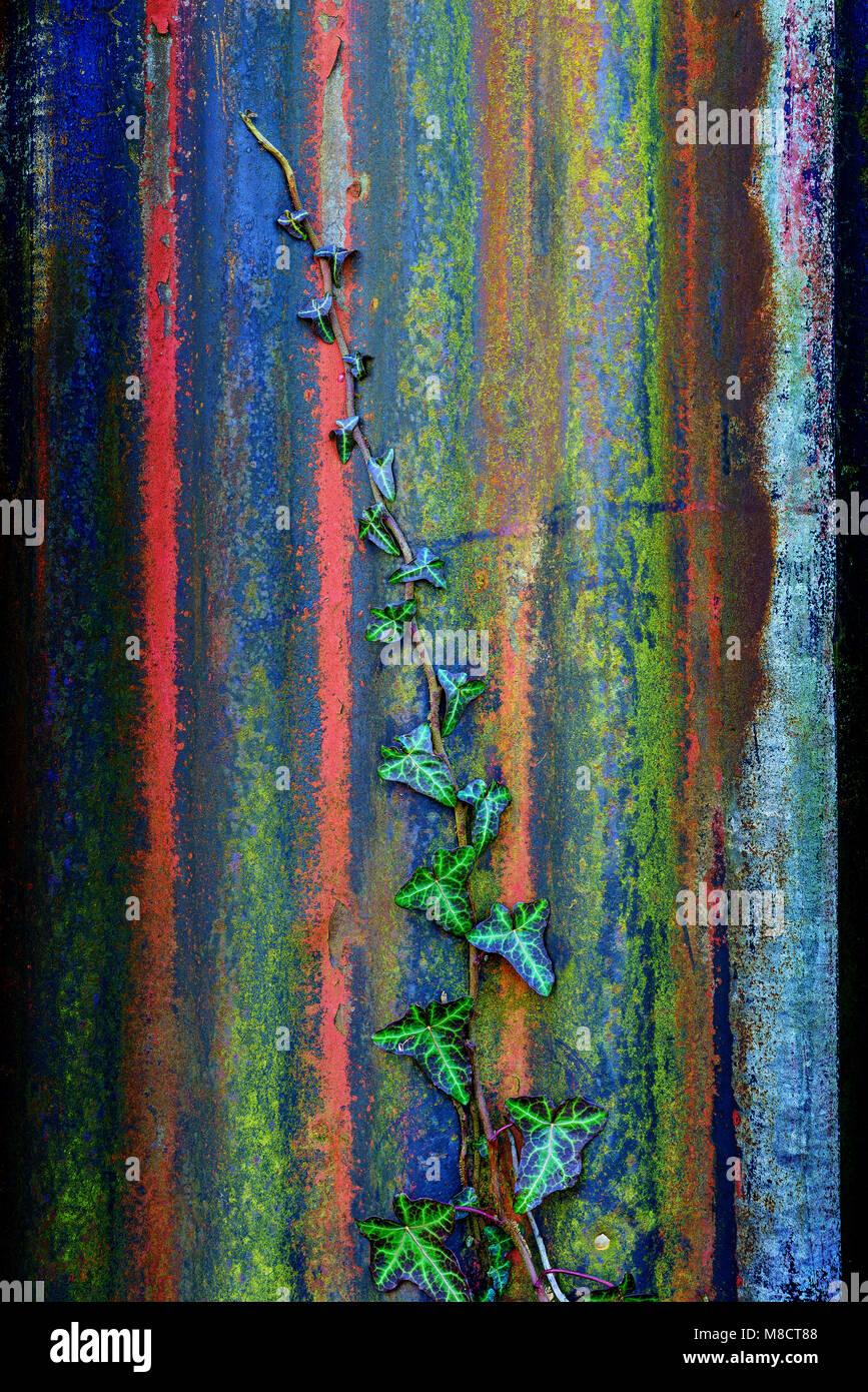 Ivy on Corrugated iron, Cockermouth, Cumbria, UK. - Stock Image