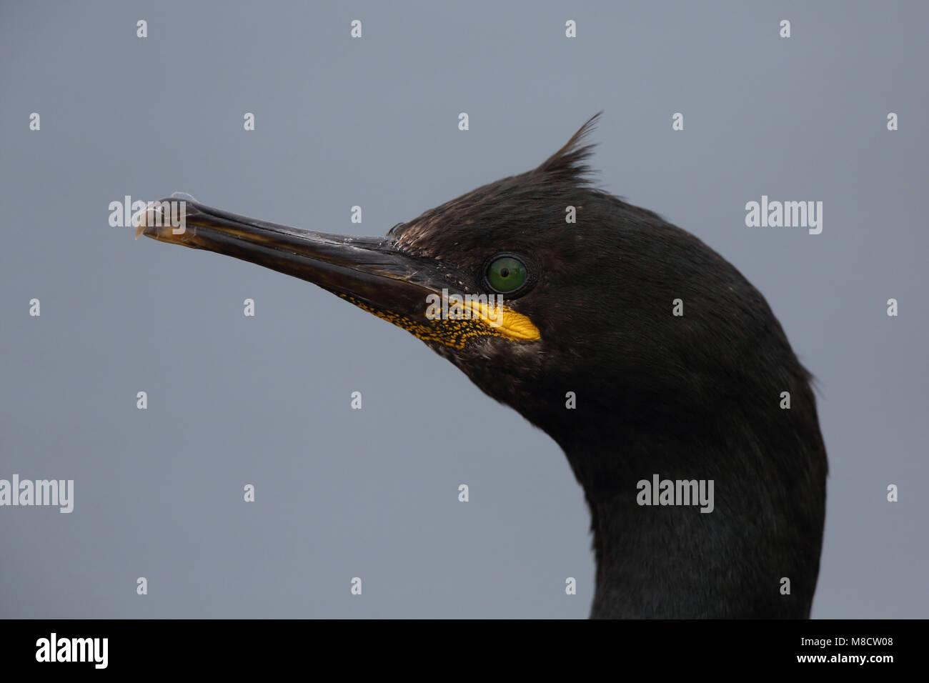 Close up van Kuifaalscholver, Close-up of European Shag - Stock Image