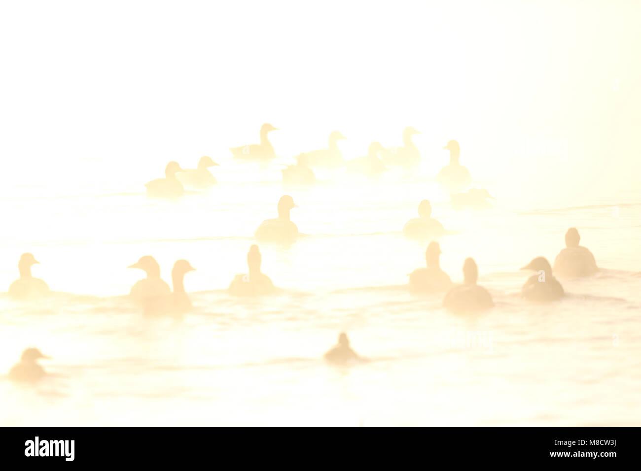 Zwemmende Grauwe Ganzen in ochtendmist, Swimming Greylag Geese in morning fog Stock Photo