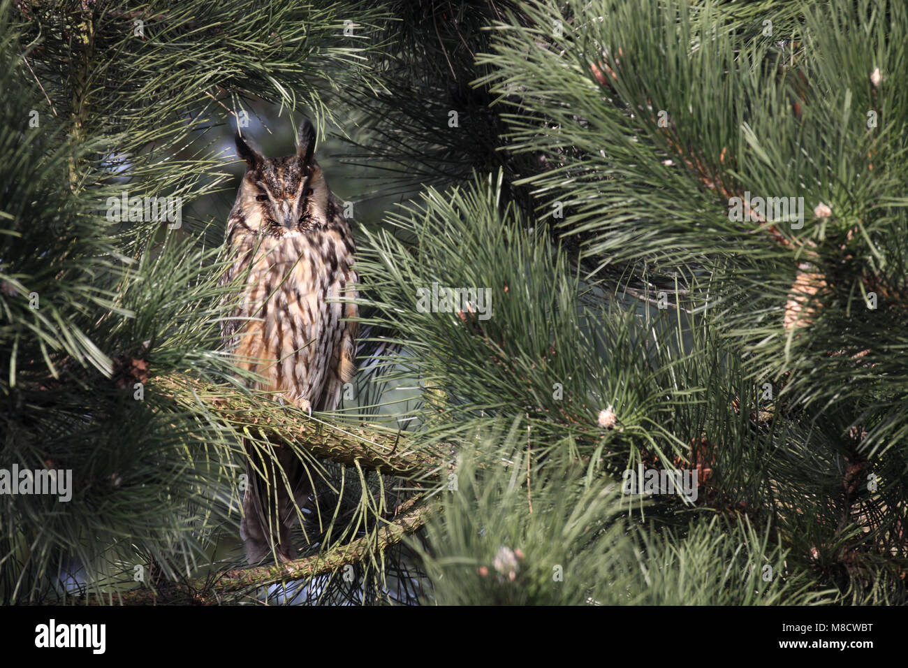 Ransuil zittend in een boom; Long-eared Owl perched in a tree - Stock Image