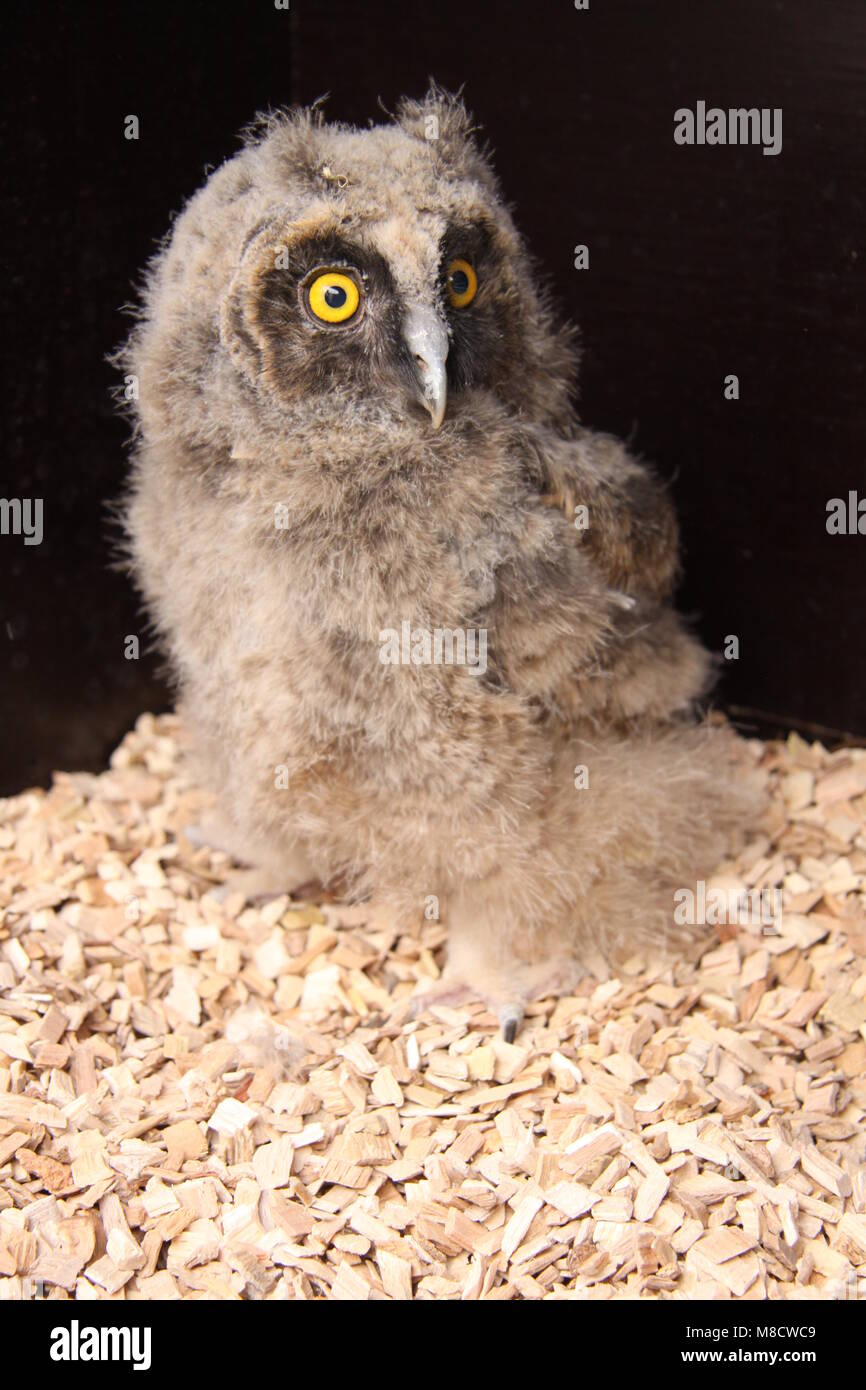 Ransuil jong zittend ; Long-eared Owl juvenile perched - Stock Image