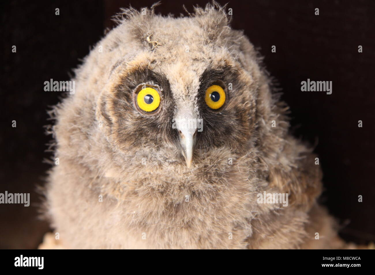 Ransuil jong zittend; Long-eared Owl juvenile perched - Stock Image