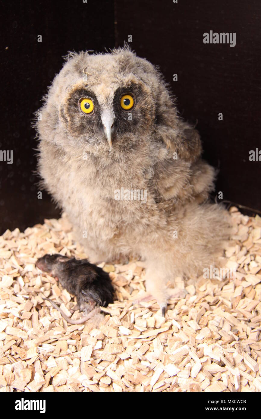 Ransuil jong zittend met muis; Long-eared Owl juvenile perched with mouse - Stock Image