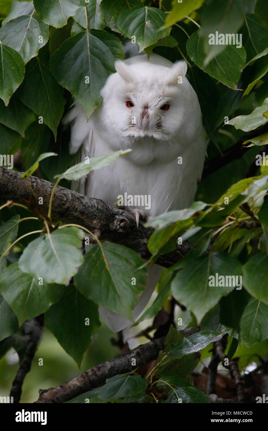 Ransuil albino zittend op tak; Long-eared Owl albino perched on branch - Stock Image