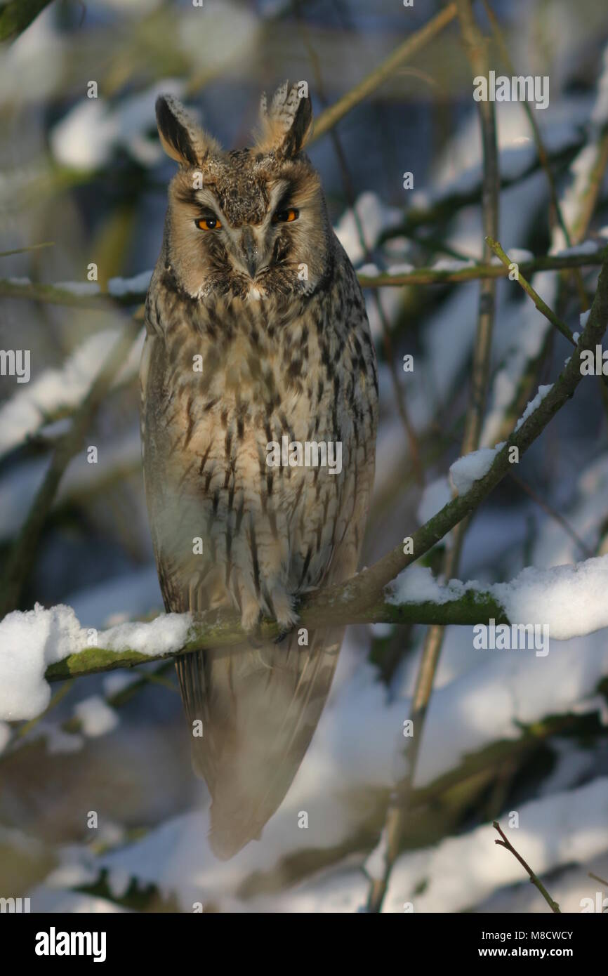Ransuil zittend op tak; Long-eared Owl perched on branch - Stock Image