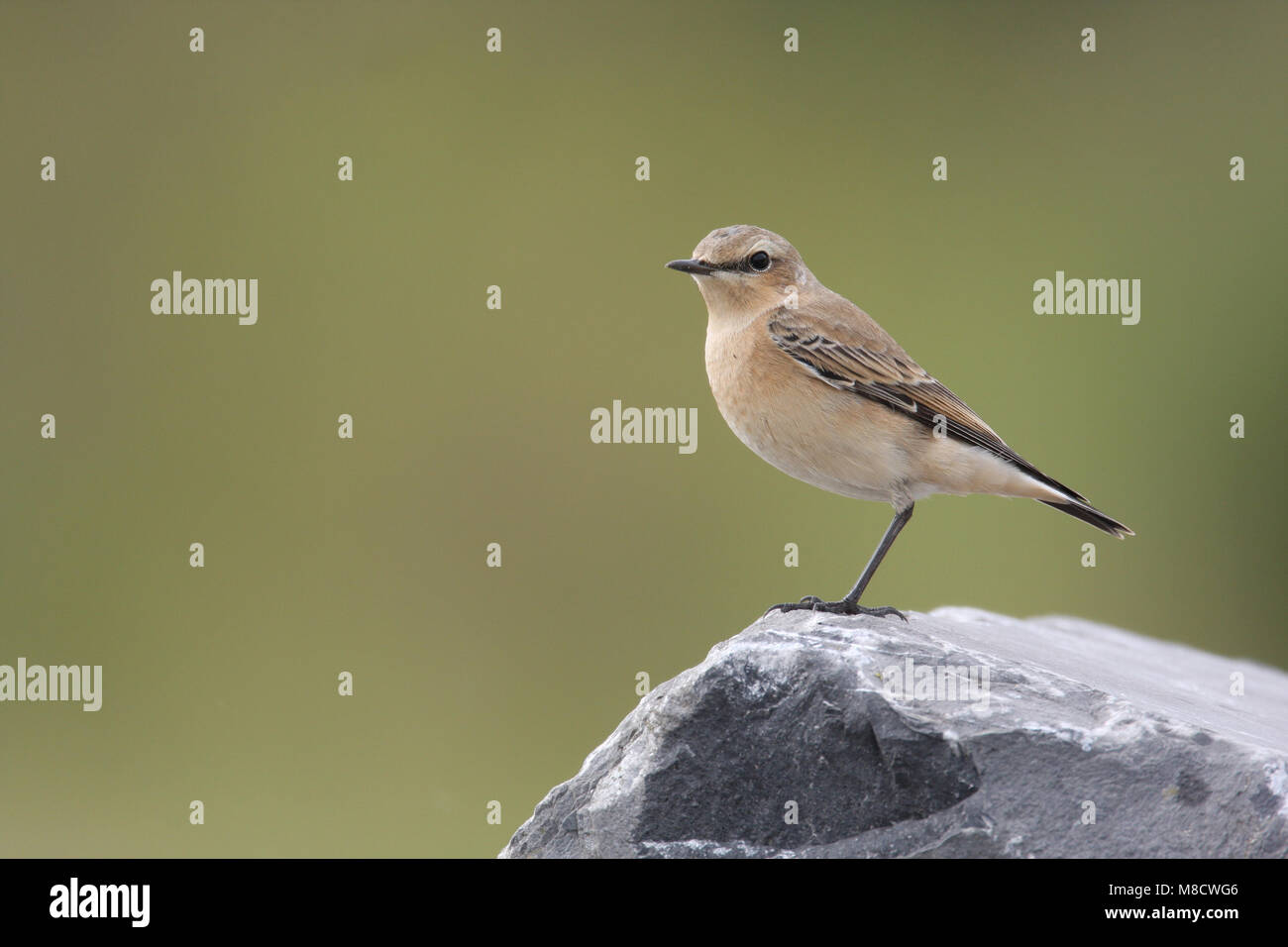 Onvolwassen Tapuit zittend op een steen; Immature Northern Wheatear perched on a rock Stock Photo