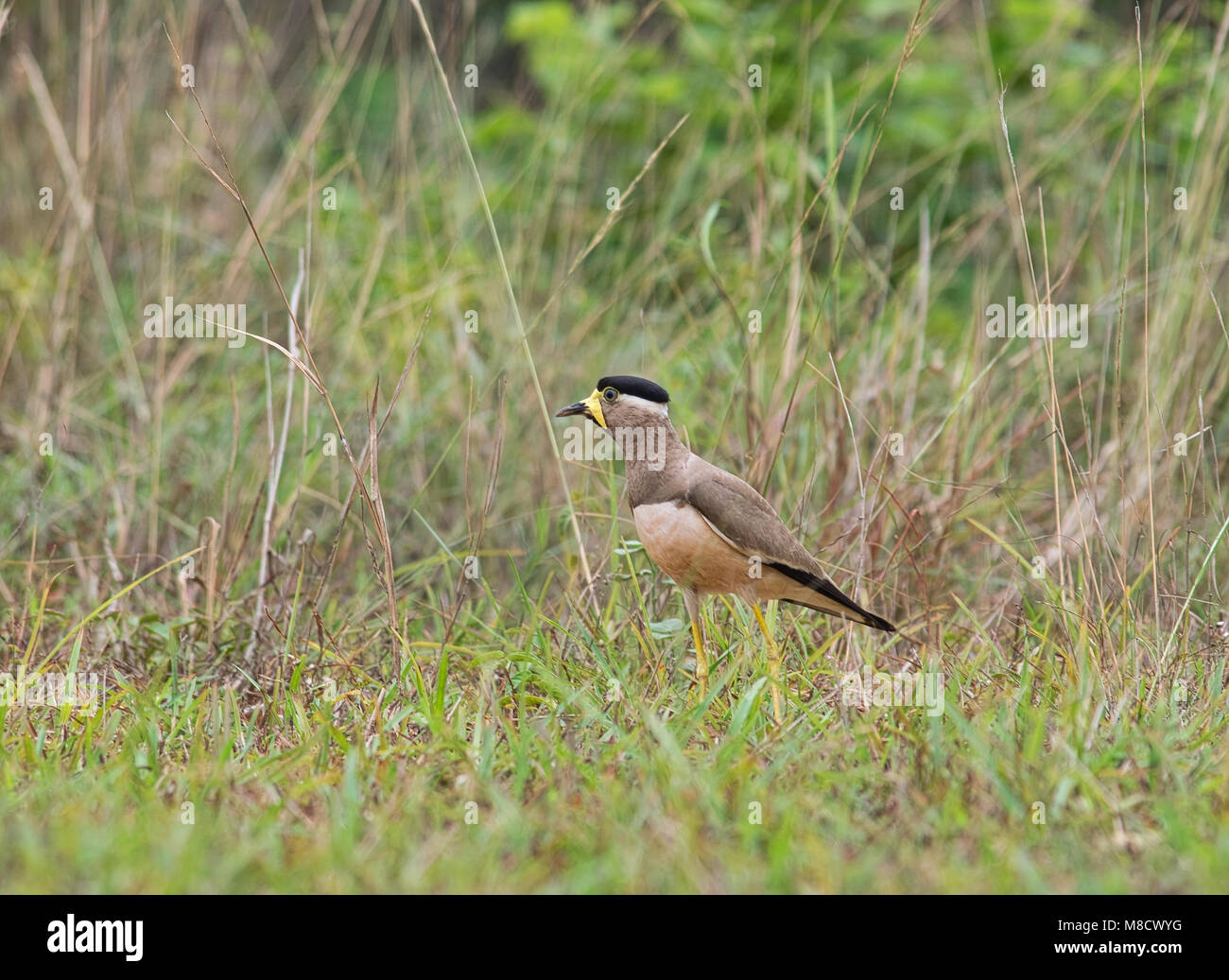 A yellow wattled lapwing bird, Vanellus malabaricus, looking for food in a grass field in Indian subcontinent. - Stock Image