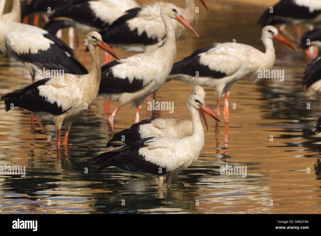 Group Ooievaar in het water; White Storks standing in water - Stock Image