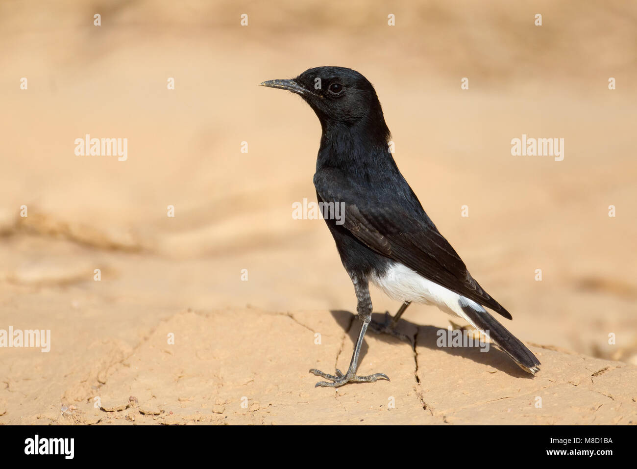 Witkruintapuit in droog habitat; White-crowned Wheatear in dry habitat - Stock Image