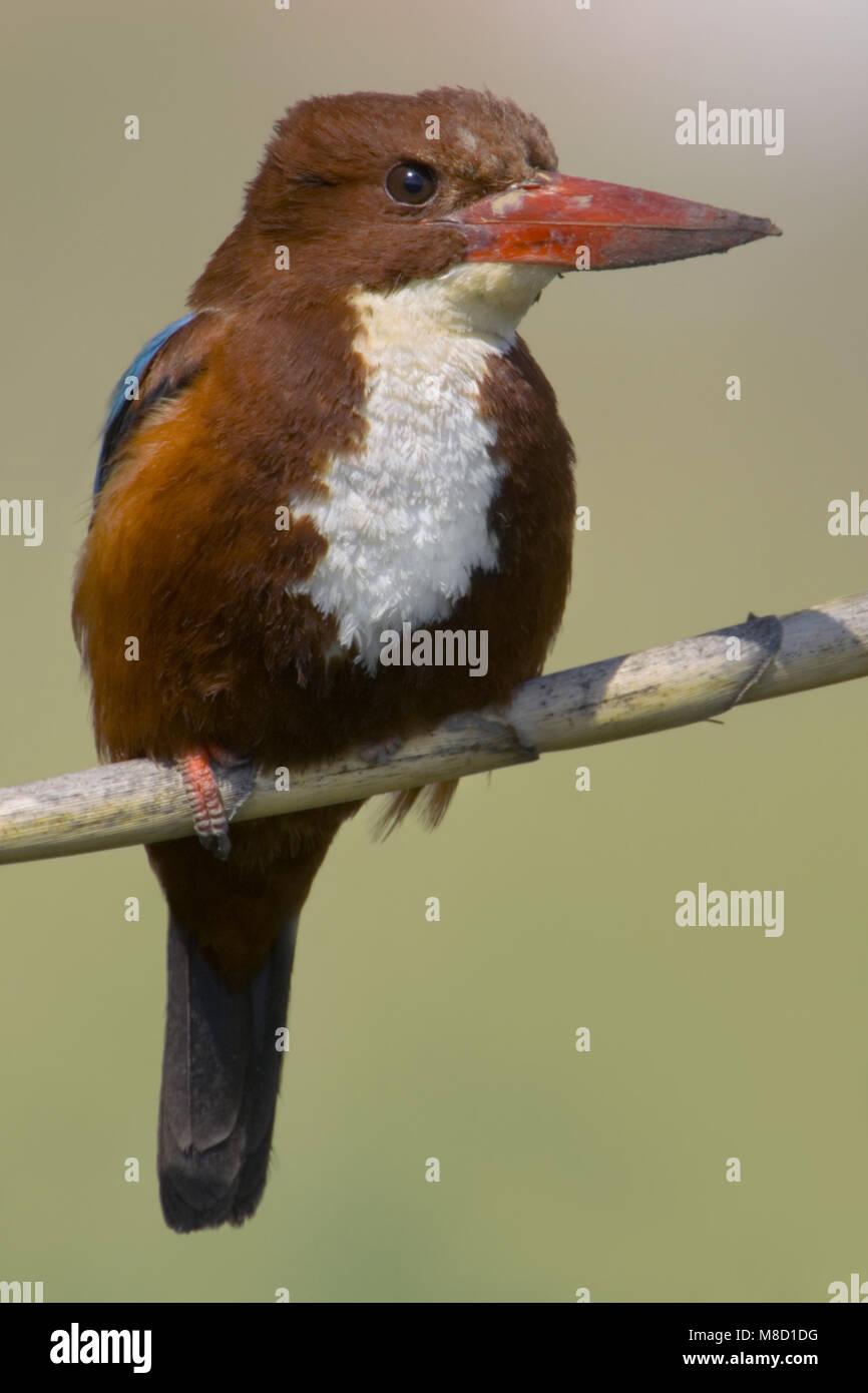 Smyrna IJsvogel volwassen zittend; White-throated Kingfisher adult perched - Stock Image