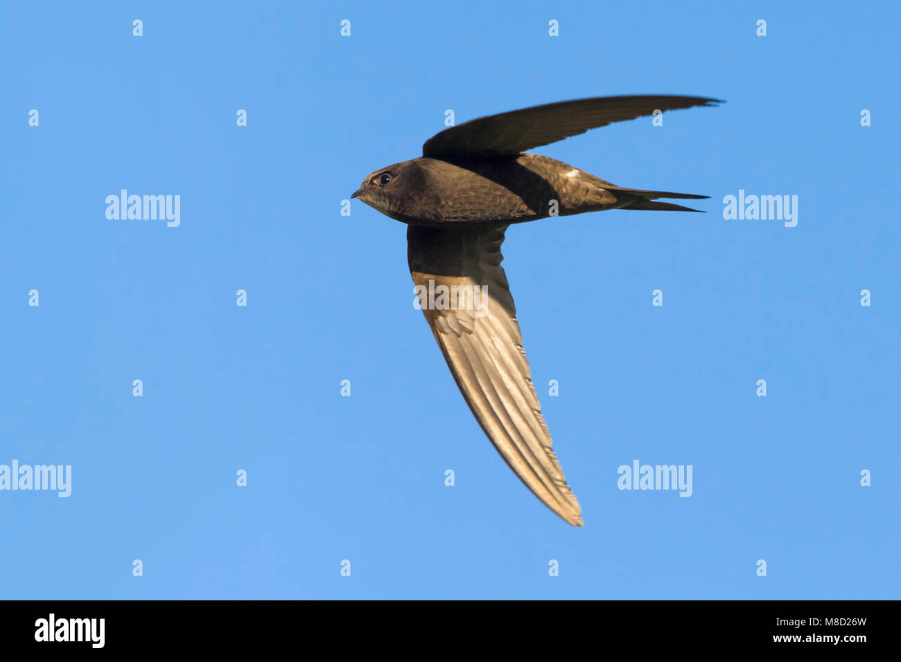 Gierzwaluw; Common Swift - Stock Image