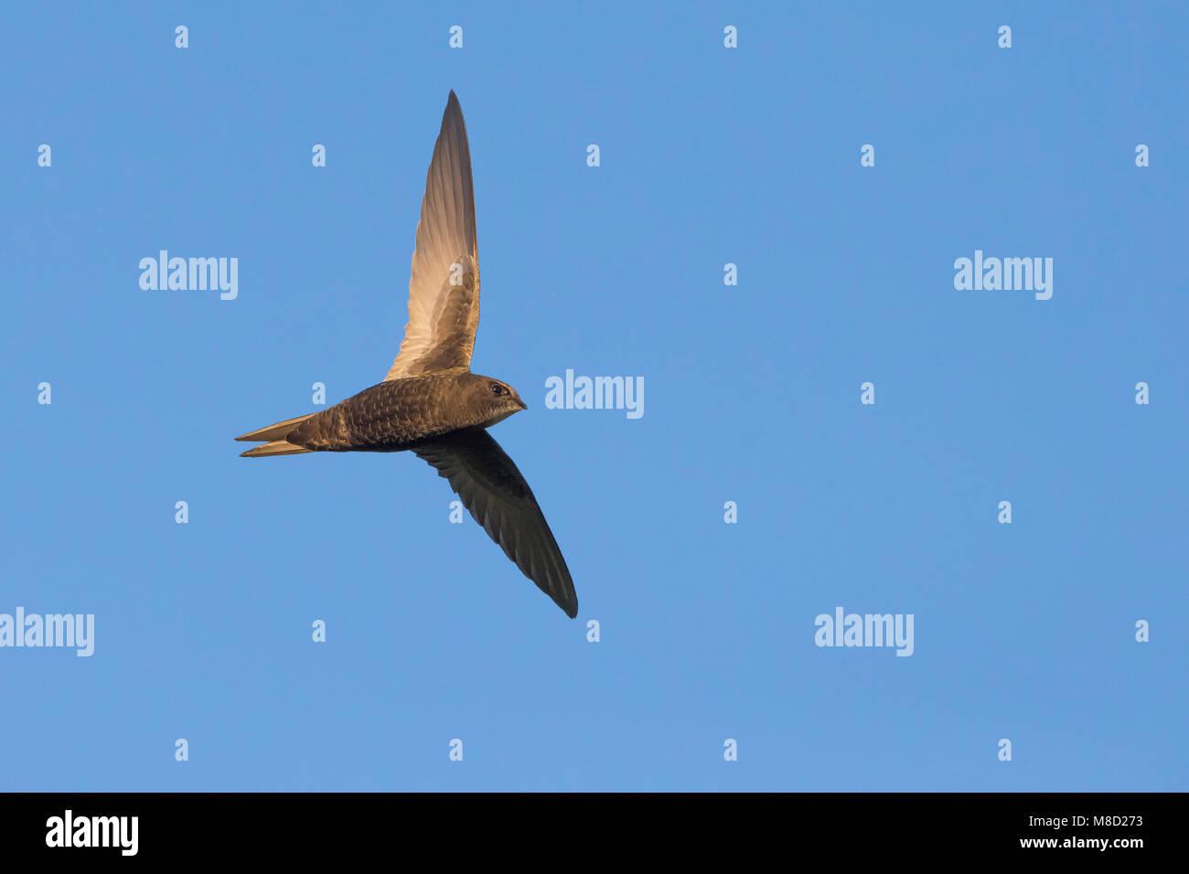 Gierzwaluw; Common Swift - Stock Image