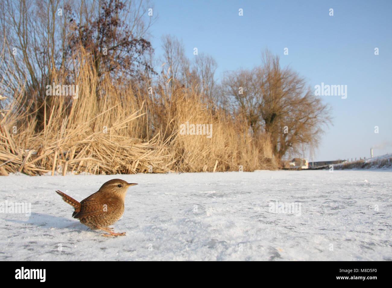 Winterkoning zittend in sneeuw; Winter Wren perched in snow - Stock Image