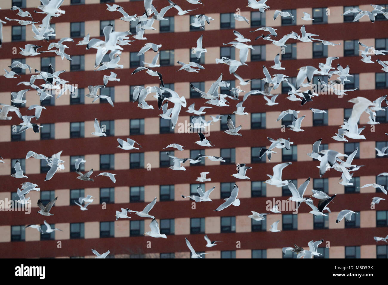 Vooral Amerikaanse Zilvermeeuwen in vlucht; Mostly American Herring Gulls (Larus smithonianus) in flight - Stock Image
