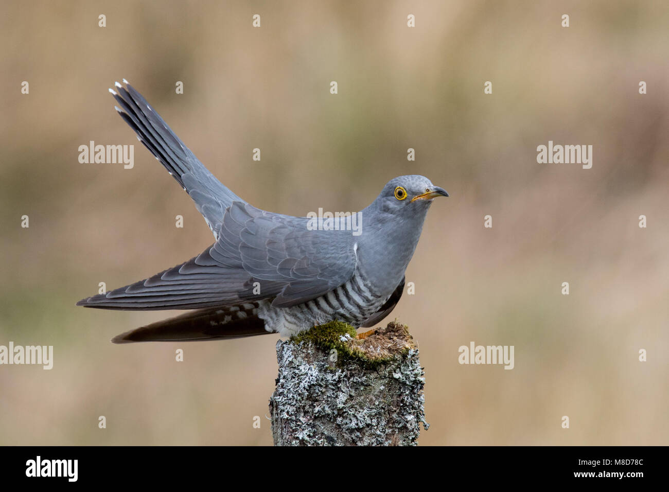 Eurasian Cuckoo perched on lichen covered  post - Stock Image
