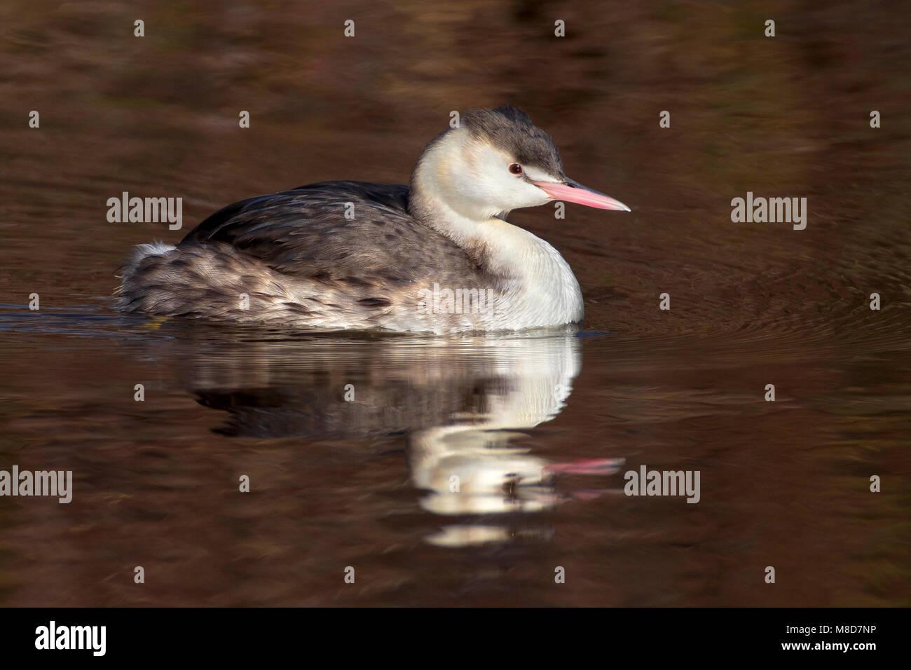 Zwemmende Fuut in winterkleed, Swimming Great Crested Grebe in winterplumage Stock Photo