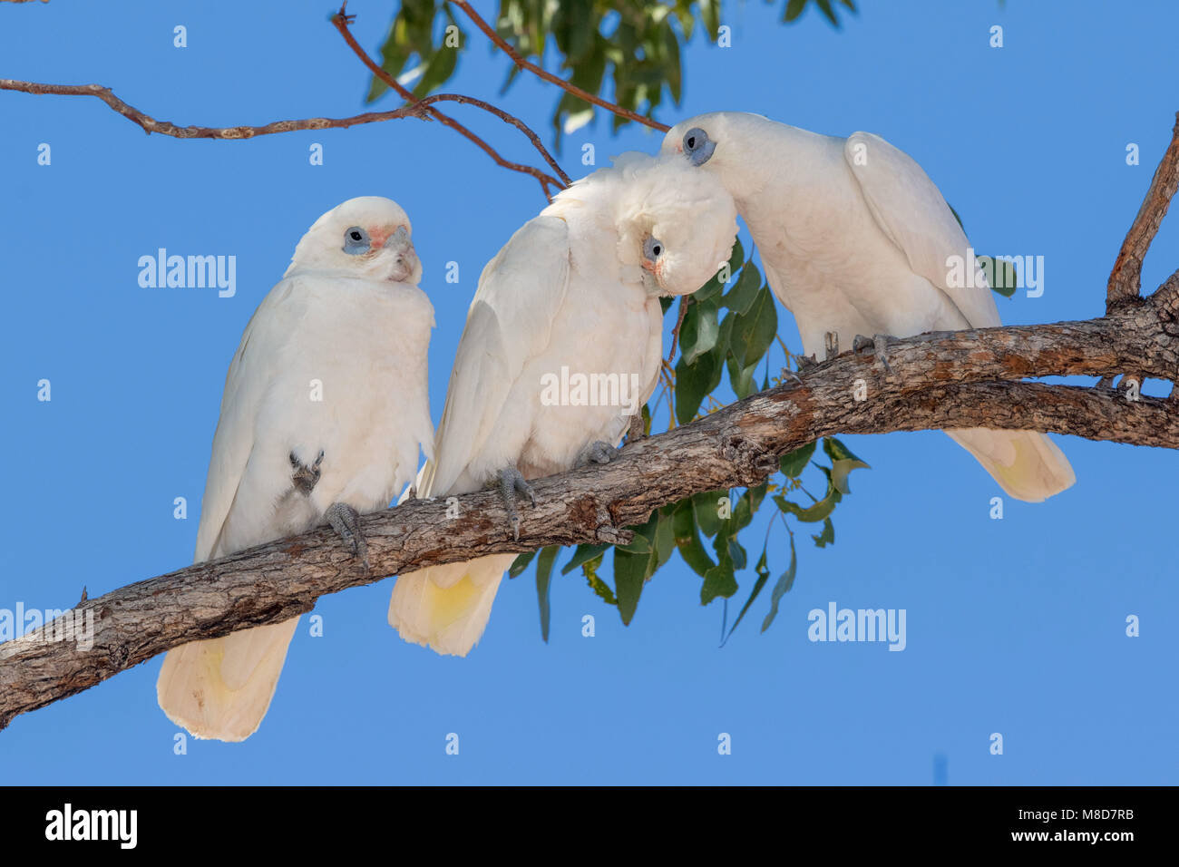Little corella family preening - Stock Image
