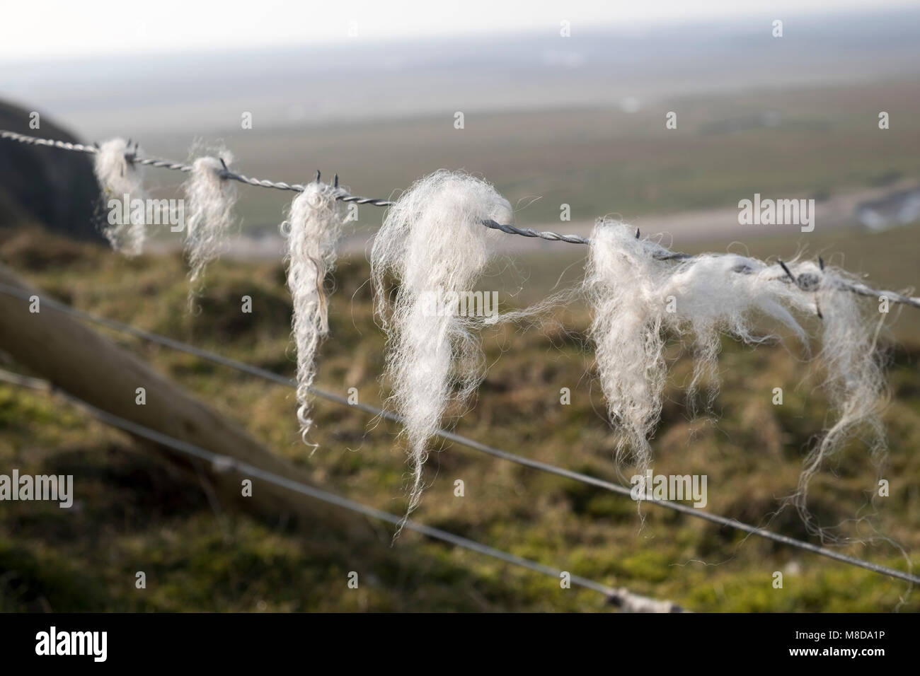 Sheep's wool on barbed wire fence, Humphrey Head, Cumbria, England - Stock Image
