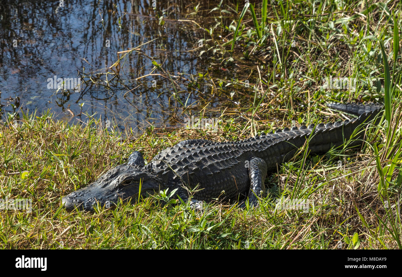 Aligator basking at sun along Shark Valley trail, Everglades National Park - Stock Image